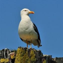 Blackfoot Gull