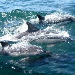 dolphins-327051_960_720